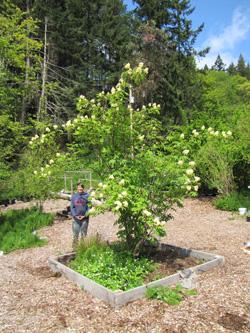 Elderberry in 2011