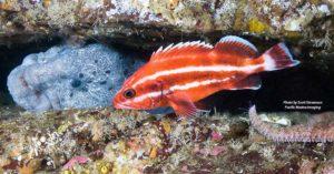 Juvenile Yelloweye Rockfish